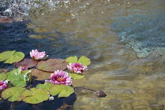 lotus-883508_960_720
