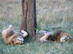 lions-253505__180