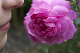 rose-177955__180